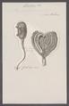 Bipapillaria australis - - Print - Iconographia Zoologica - Special Collections University of Amsterdam - UBAINV0274 092 01 0052.tif