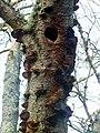 Birch polypore (Piptoporous betulinus) - geograph.org.uk - 636361.jpg