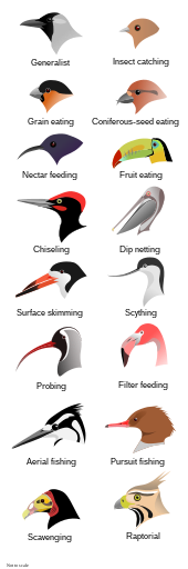 Illustration of the heads of 16 types of birds with different shapes and sizes of beak