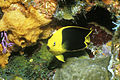 Biscayne National Park H-rock beauty on reef.jpg