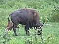 Bison and her newborn calf (22977328401).jpg