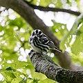 Black-and-white Warbler -31 100- (34341511000).jpg