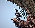 Black-backed Butcherbird. Cracticus mentalis (48641107356).jpg