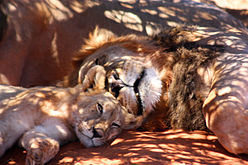 Black-maned lion and cub 4.jpg