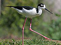 Black-necked Stilt RWD4.jpg