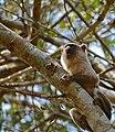 Black-tailed Marmoset (Callithrix melanura) (31783321026).jpg