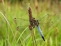 Black-tailed Skimmer (Orthetrum cancellatum), Parc de Woluwé, Brussels (14859883460).jpg