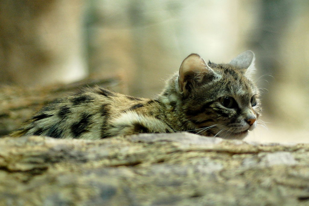 By Charles Barilleaux from Cincinnati, Ohio, United States of America - Black Footed Cat Up Close, CC BY 2.0, https://commons.wikimedia.org/w/index.php?curid=34432404
