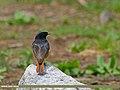 Black Redstart (Phoenicurus ochruros) (27920481600).jpg