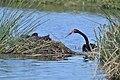 Black Swan ( nesting time ) - Flickr - friendsintheair.jpg