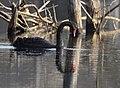 Black Swan - DSC 0834 (31908553804).jpg