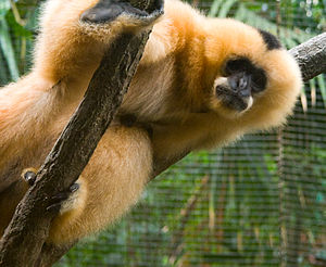 Female Northern White-cheeked Gibbon (Nomascus...