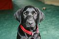 Black labrador puppy (2754032769).jpg