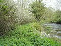 Blackthorn blossom by the River Eske - geograph.org.uk - 799066.jpg