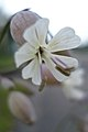 Bladder Campion (Silene vulgaris) - Thunder Bay, Ontario.jpg