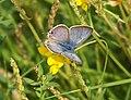 Blaveta de la ginesta - Lampides boeticus - mariposa - blue butterfly (250087092).jpg
