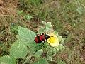 Blister beetle mylabris spp.jpg