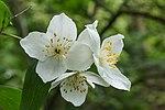 Bloemen van de Boerenjasmijn (Philadelphus microphyllus). Locatie, Tuinreservaat Jonkervallei 02.jpg