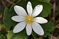 Bloodroot (Sanguinaria canadensis) - Guelph, Ontario 02.jpg