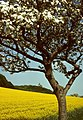 Blossoming of the apple trees.JPG