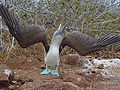 Blue-footed Booby (Sula nebouxii) -displaying.jpg