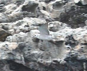 Blaunoddi (Procelsterna cerulea)