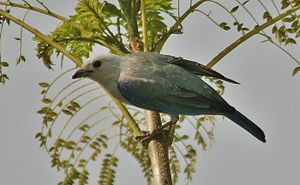 Blue-gray tanager - Image: Blue Gray Tanager