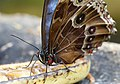 Blue Morpho Butterfly, Stratford Butterfly Park - geograph.org.uk - 1598660.jpg