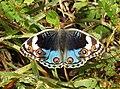 Blue Pansy Junonia orithya swinhoei by Dr. Raju Kasambe DSCN0894 (2).jpg