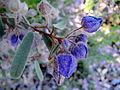 Blue flowers in Perth.jpg