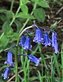 Bluebell near the A1079 south of Beverley (geograph 4464866).jpg