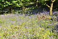 Bluebells below Houndtor Down (4215).jpg