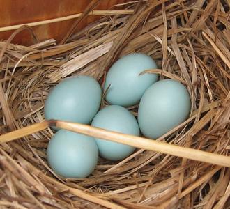 Eastern bluebird - Eggs