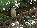 Blyth's Reed Warbler (Acrocephalus dumetorum) (42082336470).jpg