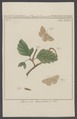 Boarmia - Print - Iconographia Zoologica - Special Collections University of Amsterdam - UBAINV0274 003 06 0066.tif