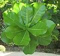Bold Green Leaves (4273991018).jpg
