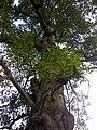 Bombax ceiba tree stem - Punjabi University.jpeg