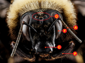 Bombus auricomus, F, face, Philidelphia tags added.png