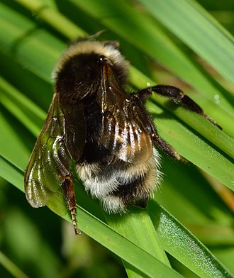 Biological rules - Emery's rule states that insect social parasites like cuckoo bumblebees choose closely-related hosts, in this case other bumblebees.