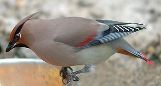 Japanese waxwing species of bird
