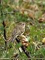 Booted Warbler (Iduna caligata) (24063729225).jpg