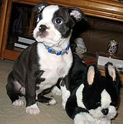 3 month old Boston Terrier
