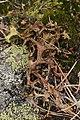 Botanical Garden Gothenburg and Anggårdsbergen 13.08.2017 Iceland moss - Cetraria islandica (37420175415).jpg