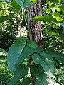 Botanical Garden in Poznan (Populus lasiocarpa) (1).jpg