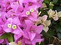 Bougainvillea blossoms and bracts-001.jpg