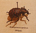 Brachycerus apterus-Musée zoologique de Strasbourg.jpg