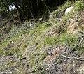Brachypodium retusum Collserola.jpg