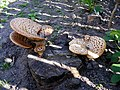 Bracket Fungi - geograph.org.uk - 1320567.jpg