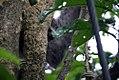Bradypus variegatus 6zz.jpg