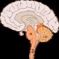 Brain bulbar region ja.png